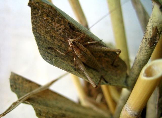 松虫はバッタ目コウロギ科の昆虫