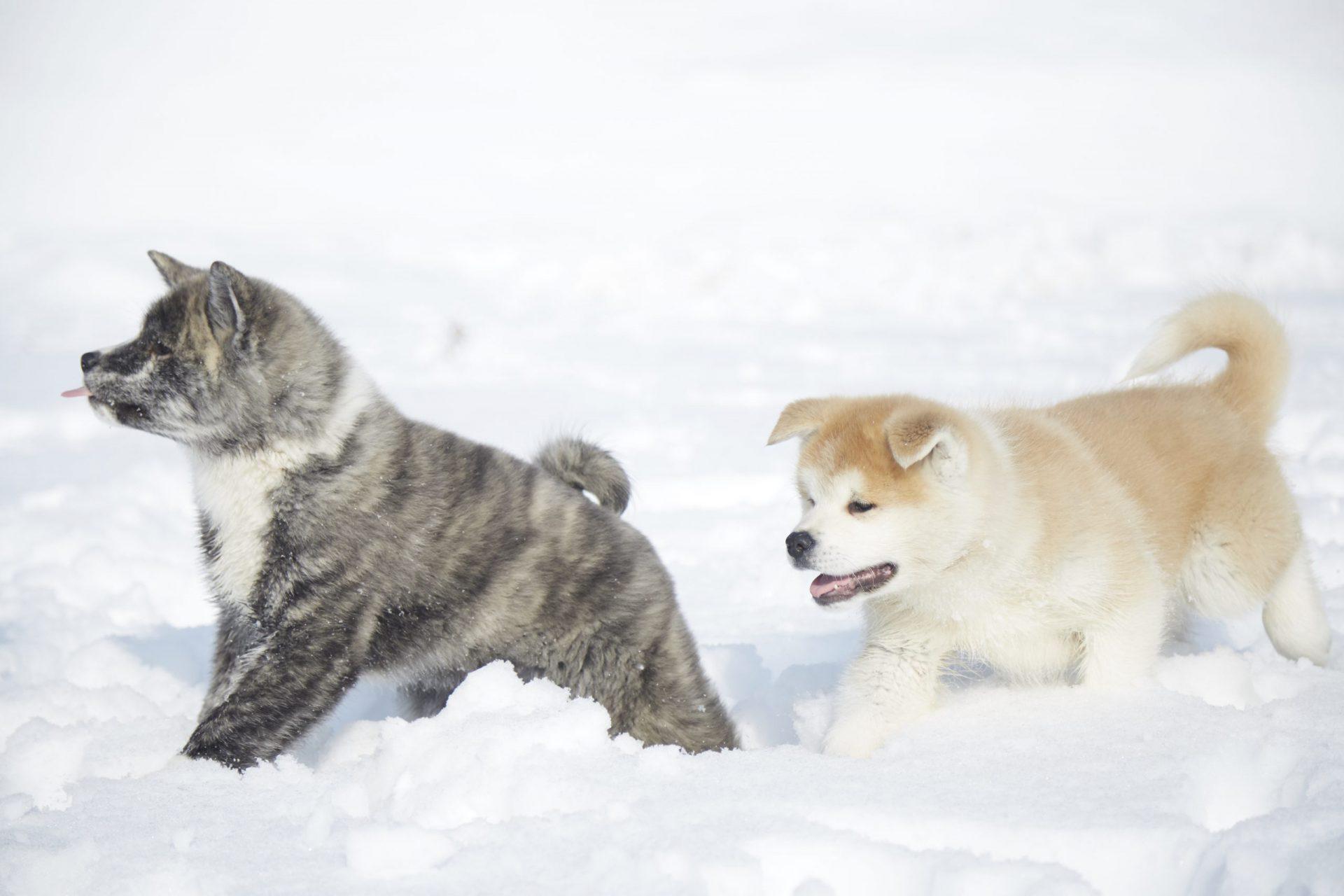 黒毛と赤毛の子犬の秋田犬