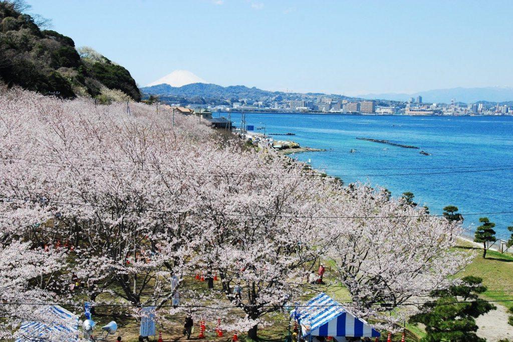 横須賀市走水にある湧き水と桜の名所としても有名な「走水水源地」の満開の桜並木