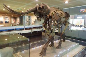 横須賀市の「横須賀市自然・人文博物館」に展示されているナウマンゾウの大きな全身の化石